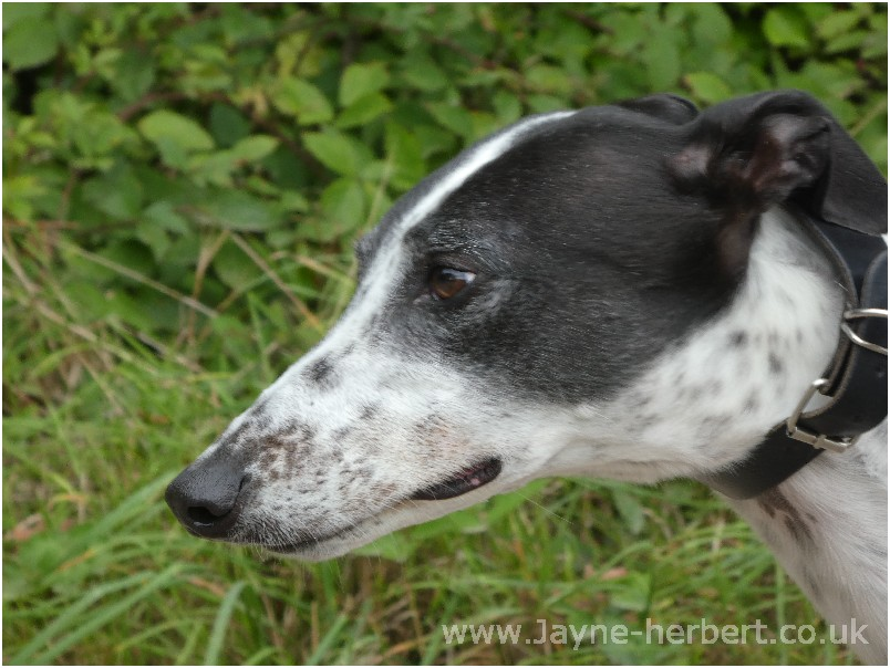 Greyhound photograph 3