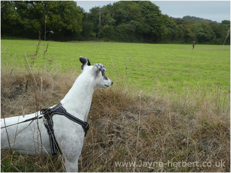 Greyhound photograph 5