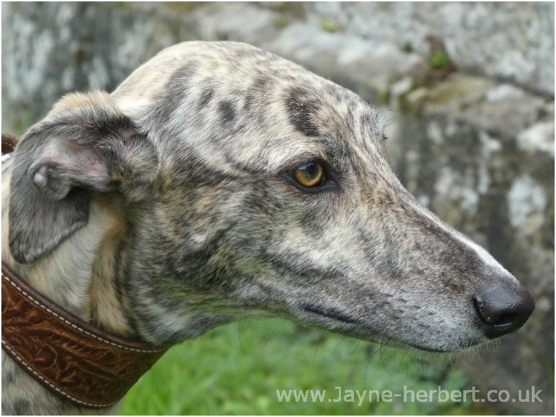 Greyhound photograph 6